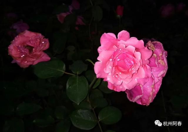 手机拍照10 |初夏雨夜里的月季花