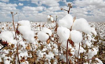 国储棉的成交量和成交价呈现些许波动