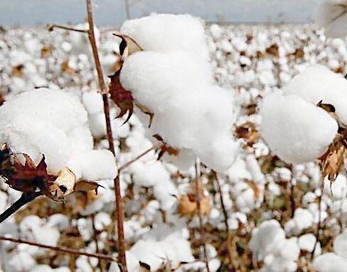 国际棉花市场综述:印度棉欲重拾信心