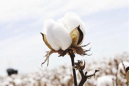 今年轧花厂、涉棉企业的日子好过很多