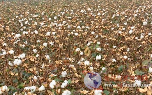 棉花市场似乎要迎来新的转机