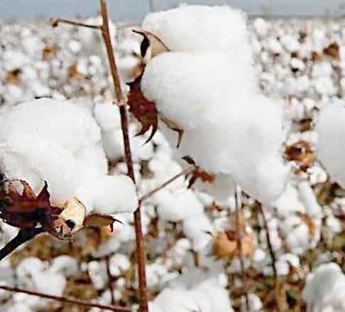 """储备棉成交率大幅上升也不是即将迎来""""光明""""的证据"""