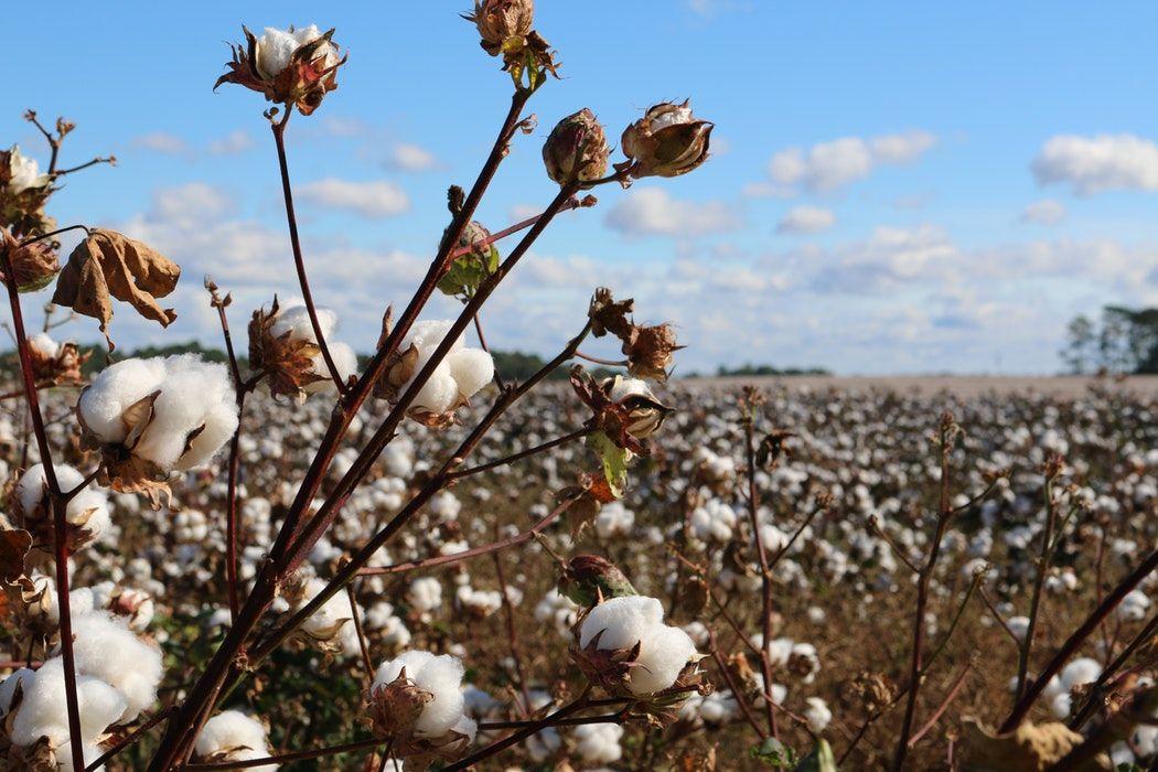 储备棉轮入和中美关系明确前 棉价走势维持震荡