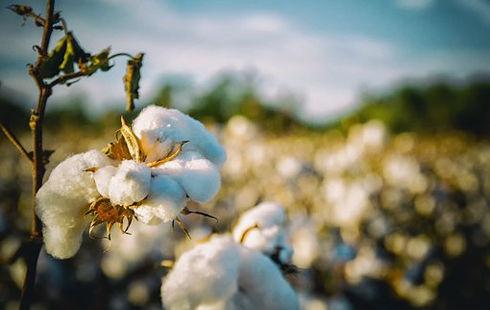 貿易協商預期左右市場心態 11月上旬棉價先抑后揚