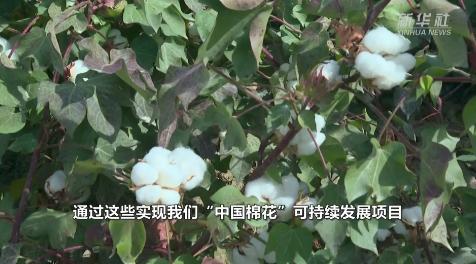 """首批按""""中國標準""""生產的棉花進入審核認證環節"""